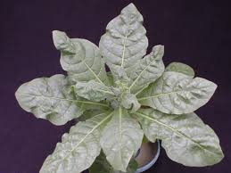 tobacco zinc zn deficiency nc state extension publications