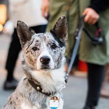 australian shepherd cattle dog mix neko shiba inu australian shepherd mix 16 m o animalia