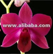 Red Orchids Orchid In Bangkok Orchid In Bangkok Suppliers And Manufacturers