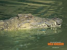alligators wallpapers alligators stock photos