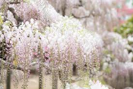 japan ashikaga flower park