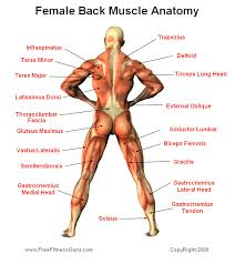 Human Anatomy Muscle Female Muscle Anatomy Health U0026 Fitness Pinterest Anatomy