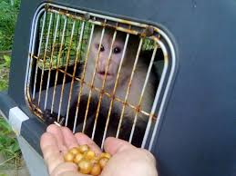 Hous by Wildlife Rescued Capuchine Monkey Geting Ready To Be Released