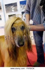 afghan hound national 2014 crufts afghan hound stock photo royalty free image 106612790 alamy