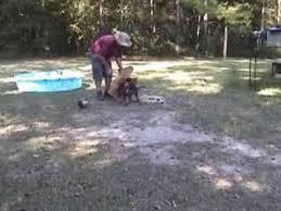 belgian malinois 101 youtube belgian malinois canine training videos