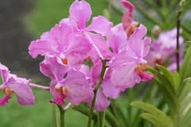 vanda orchids how to care for vanda orchids garden greenhouse