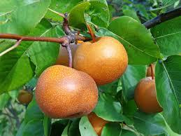 cuisiner le fruit de l arbre à images gratuites la nature fruit feuillage aliments produire