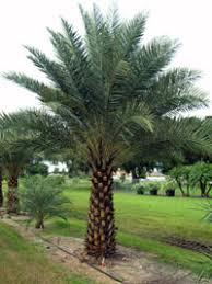 sylvester date palm tree true date palm tree dactylifera