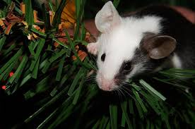 Are Mice Blind One Mouse Health Problem You Can U0027t Ignore Petcha