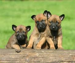 belgian shepherd hair loss belgian malinois cute dogs pinterest belgian malinois