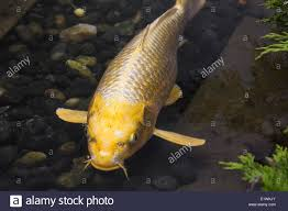 up of a golden yellow japanese koi fish in a pond montreal