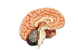 photos brain muscles diagram human anatomy diagram