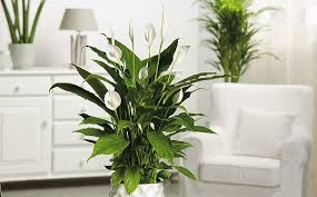 peace lily best for small places plant talk nurserylive