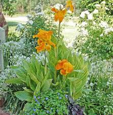 canna lilies canna tropicanna gold canna