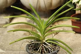 vanda orchids saving a vanda orchid from fusarium rotpick an orchid