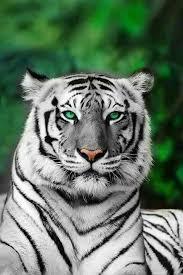 Eye Of The Tiger Meme - unique 28 eye of the tiger meme wallpaper site wallpaper site