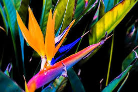 birds of paradise flower bird of paradise flower images pixabay free pictures
