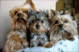 haircuts for yorkies three very attractive yorkie haircuts puppy toob