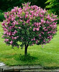 top 10 trees for small spaces plants flower and spring dwarf standard lilac really a shrub but thought i would also show in the ornamental tree section because of its form gardening for life