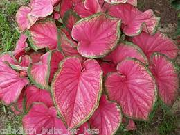 caladium bulbs 4 less home facebook