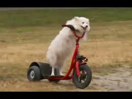 american eskimo dog vancouver lilly the dog that drives a electric scooter vancouver b c youtube