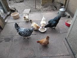 ground egg shells improving dandelion s egg shells carol s chickens