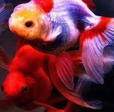 429 best goldfish images on aquarium fish beautiful