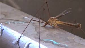 nature doing cool things crane fly drinking water youtube