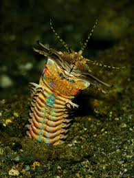 eunice aphroditois is rainbow terrifying scientific american
