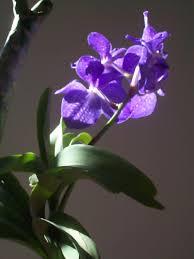 Blue Orchid Flower Vanda Coerulea Wikipedia