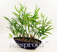 50 pcs bag mini bamboo seeds ornamental diy home