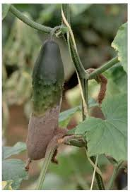 increase profitability of your cucumber crop with trellising net