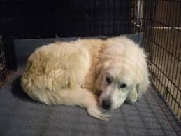 great pyrenees rescue provides wonderful dogs to good homes helping your rescue dog to adjust carolina great pyrenees rescue