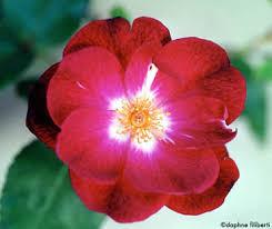 china with roses sanguinea china