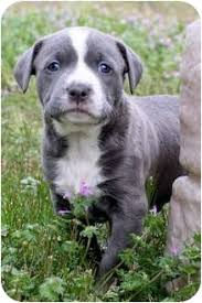 blue american pitbull terrier baby blue adopted puppy killen al american pit bull terrier mix
