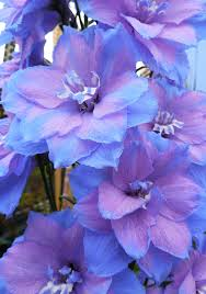 delphinium flower delphinium elatum blue lace buy online at s annuals