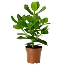 clusia potted plant ikea my home pinterest clusia large