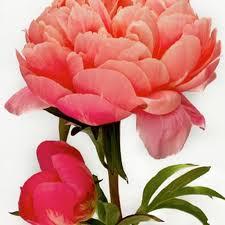 Peony Flowers by Peach Peonies U2013 Wholesale U2013 Bloomsbythebox Com