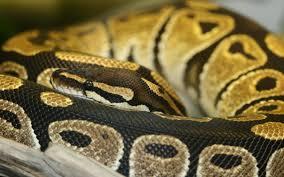 desktop snakes python pictures wallpaper