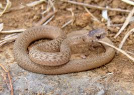 facts about brown snakes