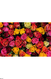 colorful roses colorful roses background wall mural