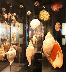 where to buy seashells sea shells and sea shell collecting facts and details