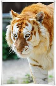 Cool Looking - 44 cool tiger pictures to instill awe and
