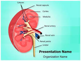 free nephrology kidney medical powerpoint template for medical