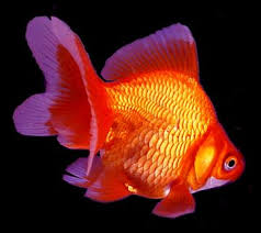 japanese koi garden pond fish guide in new jersey service