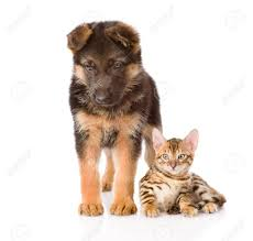 german shepherd puppy and bengal kitten together isolated on