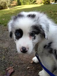 australian shepherd dog names reader response to most popular portland dog names the story