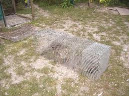 how to get rid of fox backyard chickens