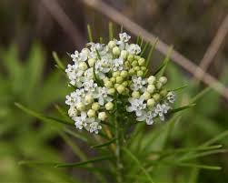 Plants That Don T Need Much Sun Twelve Native Milkweeds For Monarchs The National Wildlife