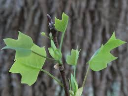 file liriodendron tulipifera folded new leaves jpg wikimedia commons
